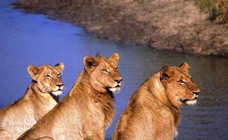 Selbstfahrerreisen Botswana, Löwen